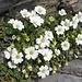 auch auf dem Felsigen Gipfel hat's viele schöne Blumen