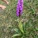 Orchidee: Knabenkraut. Natürlich dürfen sich auch Frauen daran erfreuen.
