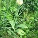 Allium victorialis L.<br />Amaryllidaceae (incl. Liliaceae p.p.)<br /><br />Aglio serpentino.<br />Ail victoriale.<br />Allermansharnish.