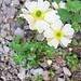 Ranunculus alpestris L.<br />Ranunculaceae<br /><br />Ranuncolo alpestre.<br />Renoncule alpestre.<br />Alpen-Hahnenfuss.