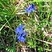 Gentiana bavarica L.<br />Gentianaceae<br /><br />Genziana bavarese.<br />Gentiane de Bavière.<br />Bayerischer Enzian.