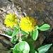 Trifolium badium Schreb.<br />Fabaceae<br /><br />Trifoglio giallo-bruno.<br />Trèfle brun.<br />Braun-Klee.