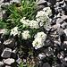Pritzelago alpina (L.) Kuntze s. str.<br />Brassicaceae<br /><br />Iberidella alpina.<br />Cresson des chamois.<br />Gewoehnliche Gämskresse.