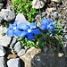 Gentiana orbicularis Schur<br />Gentianaceae<br /><br />Genziana di Favrat.<br />Gentiane à feuilles orbiculaires.<br />Rundblättriger Enzian.