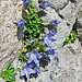 Campanula cenisia L.<br />Campanulaceae<br /><br />Campanula del Moncenisio.<br />Campanule du Mont Cenis.<br />Mont Cenis Glockenblume