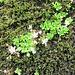 Saxifraga rotundifolia L.<br />Saxifragaceae<br /><br />Sassifraga a foglie rotonde.<br />Saxifrage à feuiller rondes.<br />Rundblättriger Steinbrech.