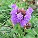 Prunella grandiflora (L.) Scholler<br />Lamiaceae<br /><br />Prunella delle Alpi.<br />Brunelle à grandes fleurs.<br />Grosse Brunelle.