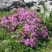 von mehreren schönen Schmetterlingen besuchtes Blumenpolster