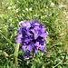 Knäuelblütige Glockenblume (Campanula glomerata)