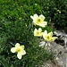 Fortsetzung der Blumenparade 11: die Anemonen nun im Sonnenlicht