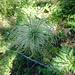 Verblühte Alpen-Anemone