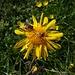 Alpenblume mit Besuch
