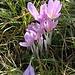 <b>Zafferano selvatico</b> o Colchico autunnale (Colchicum autumnale). La pianta è velenosa e all'epoca della fioritura è pericolosissimo portare i fiori alla bocca, per la presenza di colchicina.<br />