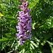 auch (wenn k) eine Orchis - hübsch auf jeden Fall ...