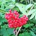 Sorbus chamaemespilus (L.) Crantz<br />Rosaceae<br /><br />Sorbo alpino.<br />Sorbier petit néflier.<br />Zwergmispel.