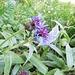 Centaurea montana L.<br />Asteraceae<br /><br />Fiordaliso montano.<br />Centaures des montagnes.<br />Berg-Flockenblume.