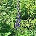 Aconitum compactum (Rchb.) Gayer<br />Ranunculaceae<br /><br />Aconito napello.<br />Aconit compact.<br />Dichtblutiger Blau-Eisenhut.<br />