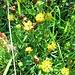 Trifolium badium Schreb.<br />Fabaceae<br /><br />Trifoglio bruno.<br />Trèfle brun.<br />Braun-Klee.