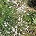 Gypsophila repens L.<br />Caryophillaceae<br /><br />Gipsofila strisciante.<br />Gypsophile rampante.<br />Kriechendes Gipskraut.