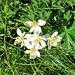 Anemone narcissiflora L.<br />ranunculaceae<br /><br />Anemone narcissino.<br />Anmone à fleurs de narcisse.<br />Narzissen-Windroeschen.