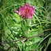 Trifolium alpestre L.<br />Fabaceae<br /><br />Trifoglio alpestre.<br />Trèfle alpestre.<br />Hügel-Klee.