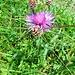 Centaurea jacea L. s.str.<br />Asteraceae<br /><br />Fiordaliso stoppione.<br />Centaurée jacée.<br />Gewoenliche Wiesen-Flockenblume.