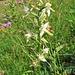 Platanthera bifolia (L.) Rich.<br />Orchidaceae<br /><br />Platantera comune.<br />Platanthere a deux feuilles.<br />Weisses Breitkoelbchen.