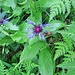 Centaurea montana L.<br />Asteraceae<br /><br />Fiordaliso montano.<br />Centurée des montagnes.<br />Berg-Flockenblume.<br /><br />