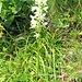 Platanthera bifolia (L.) Rich.<br />Orchidaceae<br /><br />Platantera comune.<br />Platanthere à deux feuilles.<br />Weisses Breitkoelbchen.<br /><br />