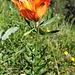 Eine Feuerlilie am Wegesrand