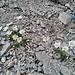 Bleame und lila Gestein in der N-Flanke des Poschachkogel