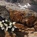 Blumenpracht im Granit beim Aufstieg zur Tierberglihütte