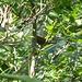 Da sitze ich am Wegrand und dieses Rotkelchchen hüpft um mich herum. Wahrscheinlich bin ich in der Nähe des Nestes. Sorry - ich will dich nicht stören