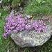 <b>Timo comune (Thymus vulgaris).</b>