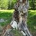 Etwas oberhalb der Veitsbergalm: ein auffälliger Baumrest