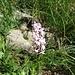 Wohlriechende Handwurz (Gymnadenia odoratissima)