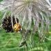 Käfer auf einer Anemone