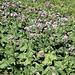 <b>Cavolaccio alpino (Adenostyles alliariae).</b>