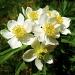 Anemone narcissifolia