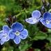 Veronica aphylla