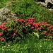 Généreux massifs de rhododendrons