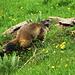 Une des nombreuses marmottes que l'on rencontre entre Schynige Platte et First