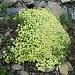 Gaillet de Suisse - Galium megalospermum