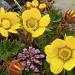 Benoîte rampante - Geum reptans / Tabouret à feuilles rondes - Thlapsi rotundifolium