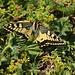 Schwalbenschwanz (Papilio machaon) auf dem Gipfel vom Dreispitz (2520,1m).
