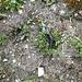 <b>Salamandra atra atra.<br />È uno dei pochissimi salamandridi completamente indipendenti dall'elemento acquatico. Conduce vita terrestre, quasi esclusivamente notturna. A causa della rigidità del clima montano, questa salamandra trascorre gran parte dell'anno in ibernazione nel terreno. La durata del periodo di inattività è generalmente compresa tra 6 ed 8 mesi, e viene condizionata dall'altitudine e dal microclima locale.<br />(Fonte: Anfibi della Fauna Italiana – Urodeli. Guide di Sistematica del Museo di Storia Naturale di Milano).</b><br />