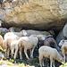 Auch die Schafe haben heiss...