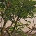 Gruppenbild mit Hänflingen und Haussperling-Weibchen