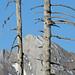 Der Schafberg möchte sich hinter knorrigen Bäumen verstecken