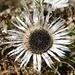 welch herbstliche Prachtsblume, diese Silberdistel!
